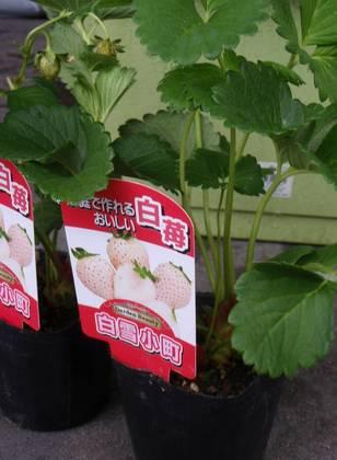 フィンガーライムと白イチゴ (2).jpg